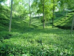 Tea Garden in Sylhet