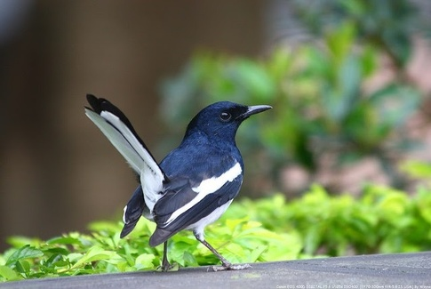 Magpie Robin – National Bird of Bangladesh
