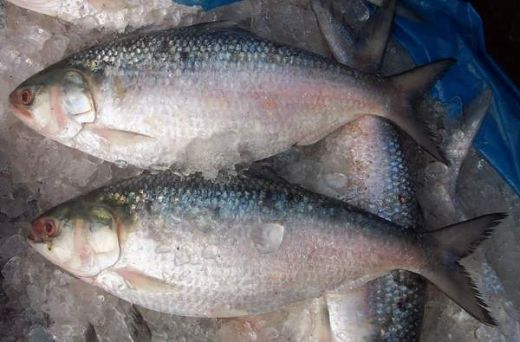 hilsa-ilish national fish bangladesh