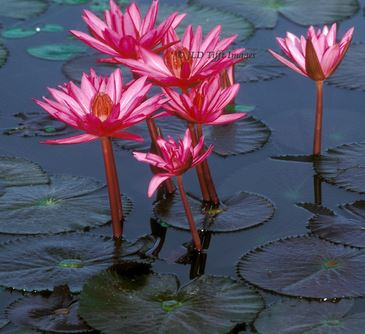 pink-water-lily-shapla