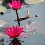 Water Lily – shapla : National flower of Bangladesh