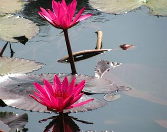 red-shapla-water-lily