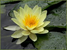 yellow-water-lily-shapla