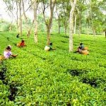 Tea Gardens in Bangladesh