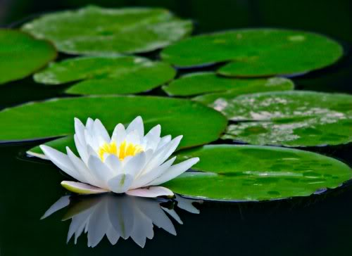 Shapla - Water lily