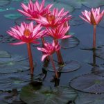 Water Lily – Shapla Flower : National flower of Bangladesh