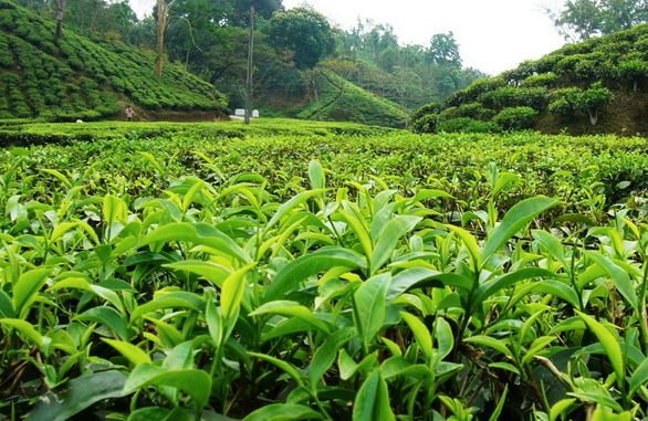 sylhet tea garden